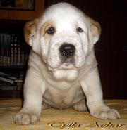 Алиментный щенок САО (алабай)