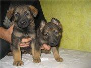 Продаются щенки немецкой овчарки рабочего разведения.