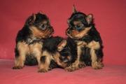 Продам щенков йокширского терьера