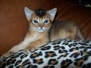 Продам абиссинского котика