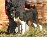 Черно-белые щенки среднеазиатской овчарки (алабай)