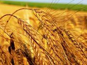 Куплю пшеницу,  Тритикале